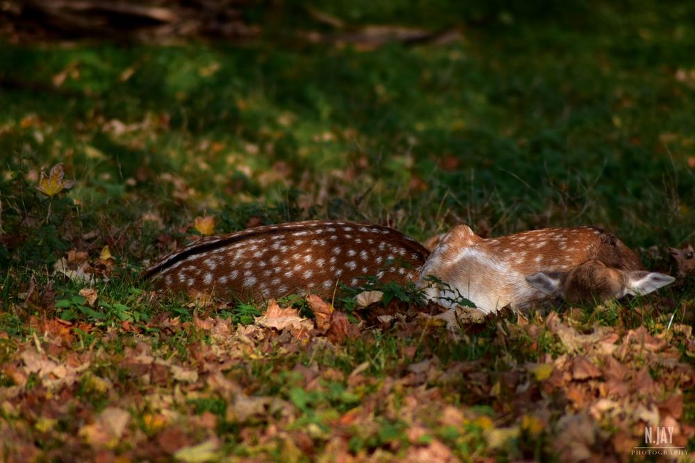 Deers Deersighting Deer Hiding Hiding From The World Animal Animals In The Wild Wildlife Wildlife & Nature Forest Autumn Autumn Colors Autumn Leaves Fall Fall Beauty Fall Leaves Leaves Fallen Leaves Nature Nature_collection EyeEm Masterclass EyeEm Nature Lover Animals Nikon White Spots