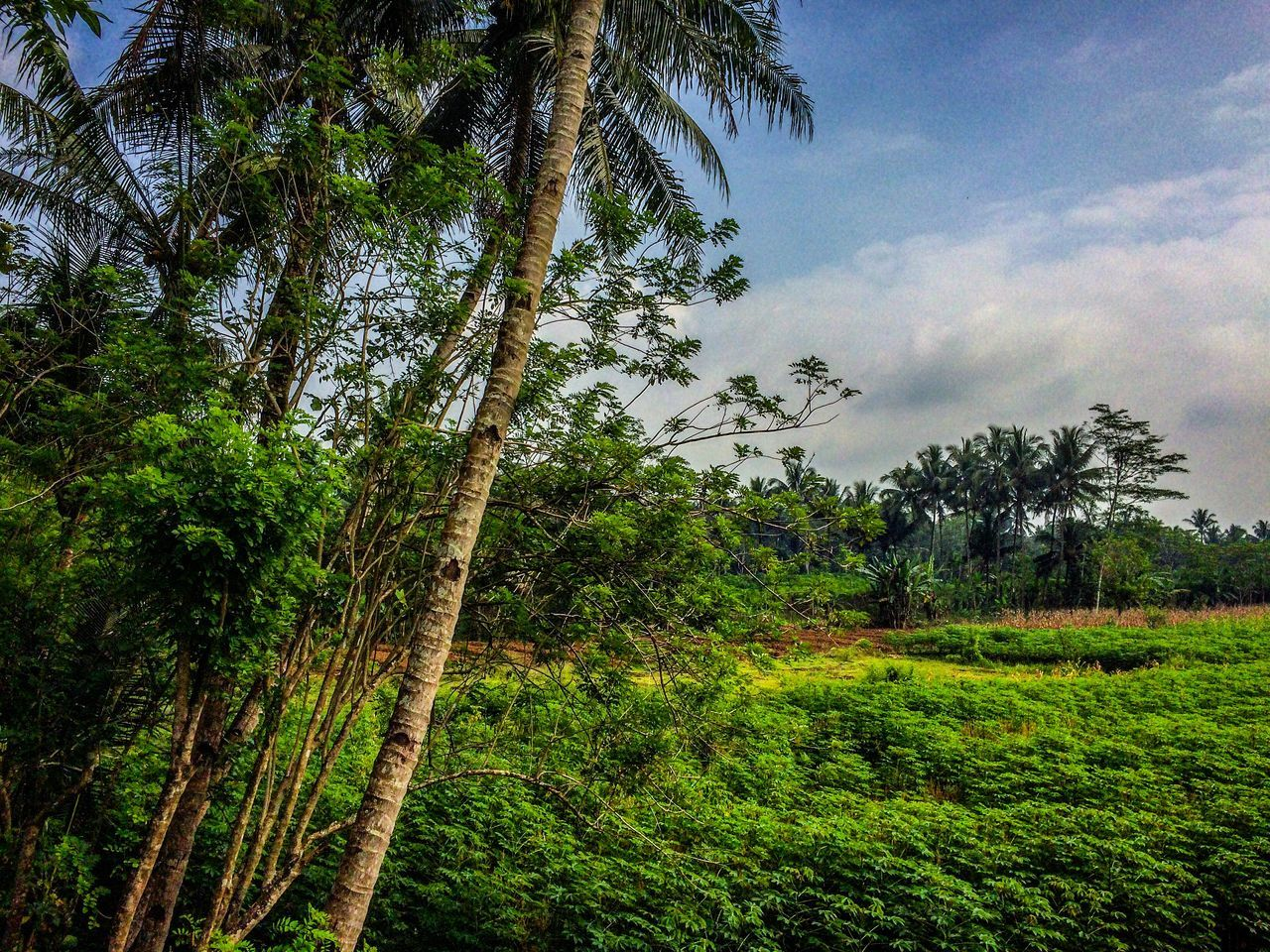 tree, nature, growth, forest, beauty in nature, green, no people, outdoors, sky, tranquility, landscape, tree trunk, green color, vegetation, day, scenics, palm tree, branch