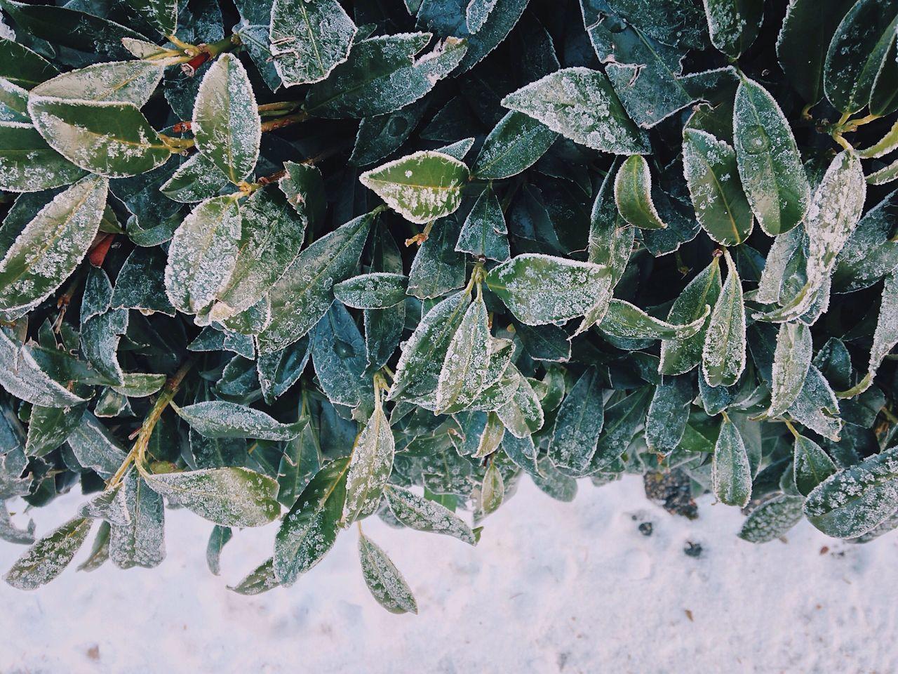粉糖🌨//。 Leaf Green Color Growth Nature Plant High Angle View Outdoors Freshness Close-up Beauty In Nature Snow Winter White Sugar Nature Pattern Leaves Tree City Life Minimalism Horizontal Focus On Foreground Minimalist Backgrounds