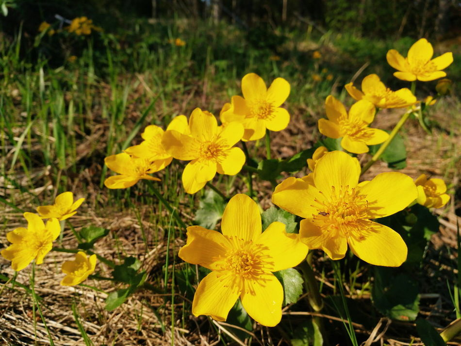 Caltha Palustris Marsh Marigold Kingcup Nature_collection Flower Flower Collection Wildflowers Check This Out From My Point Of View EyeEm Best Shots Hello World VSCO Vibrant HuaweiP9 Phoneography The Great Outdoors - 2016 EyeEm Awards Natures Diversities