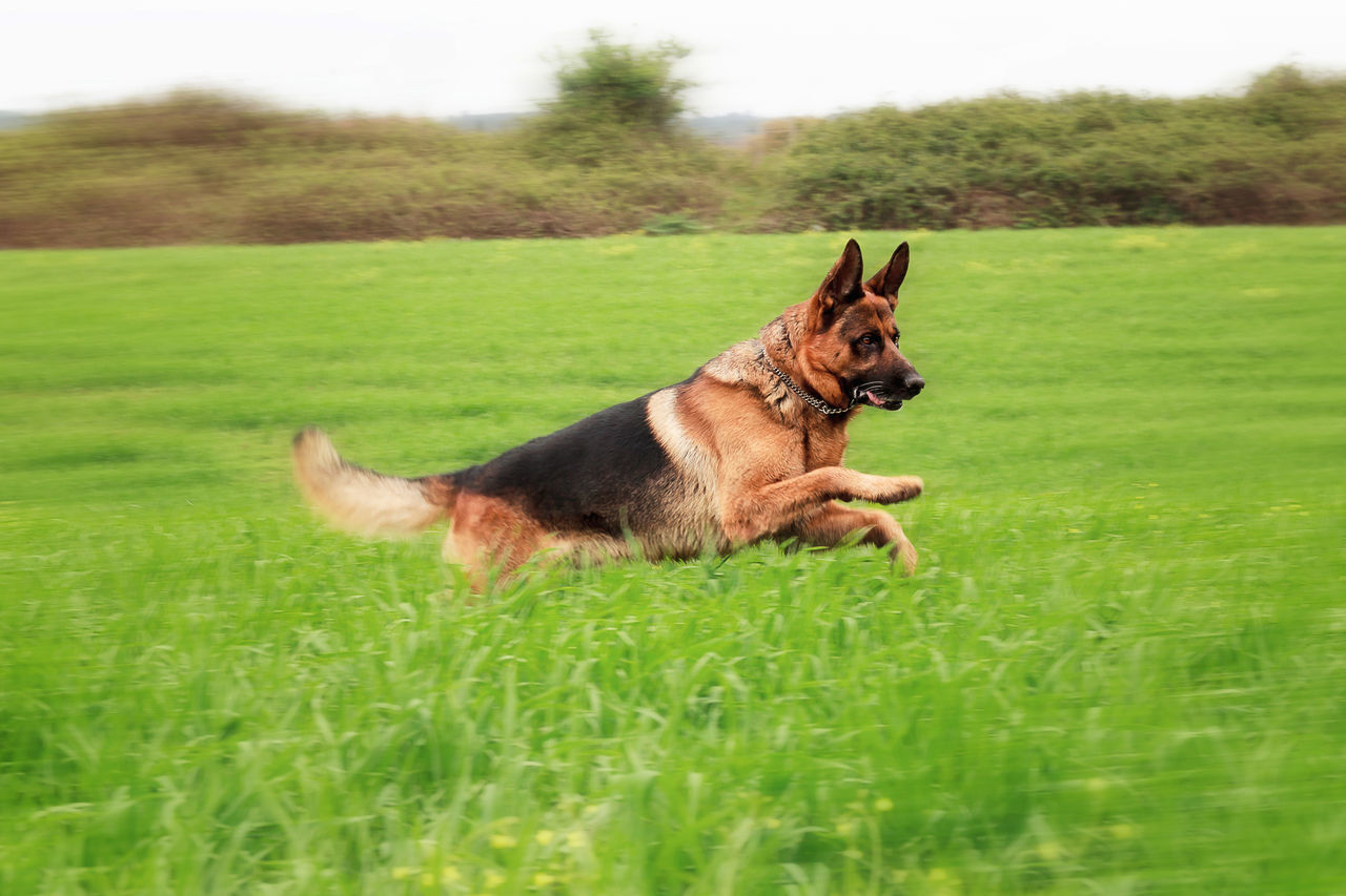 Adult German shepherd running in a green meadow. panning effect Animal Themes Day Dog Domestic Animals German Shepherd Grass Green Green Color Mammal Nature No People One Animal Outdoor Outdoors Panning Paws Pets Police Dog Race Security Guard