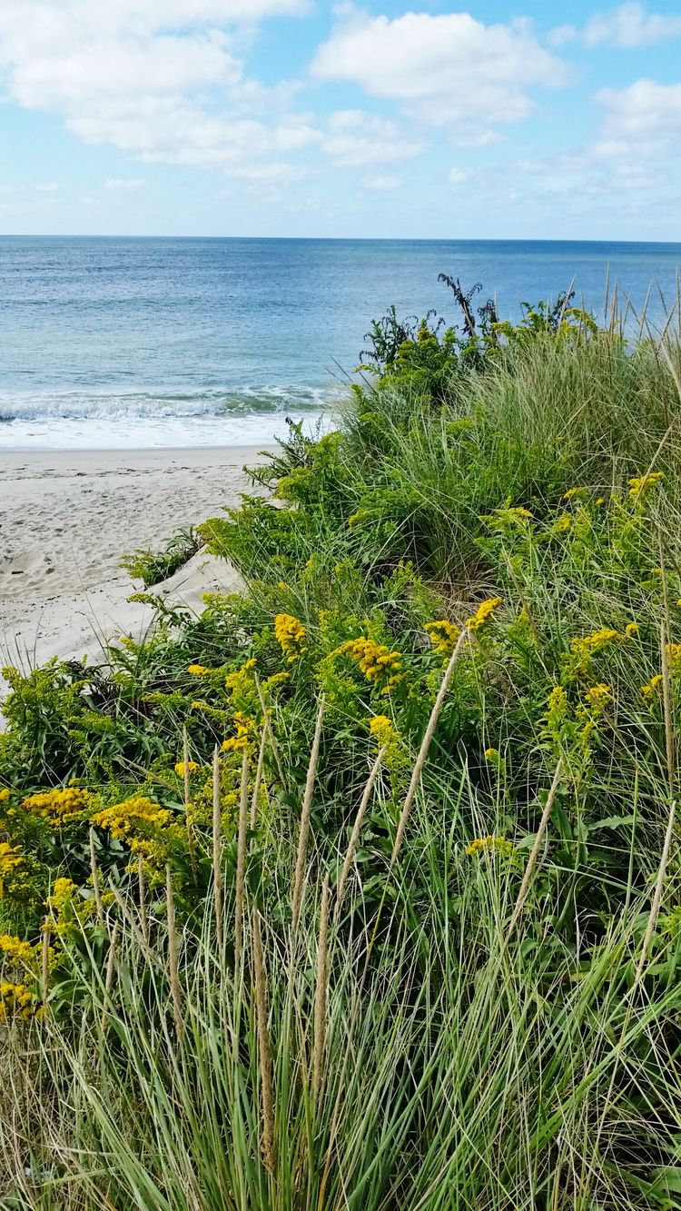 Madaket Beach Nantucket Dunes Wildflowers Sea