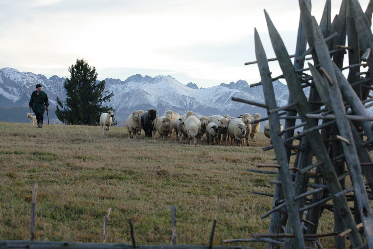 Animal Themes Autumn Field Flock Of Sheep Grass Grazing Landscape Large Group Of Animals Livestock Mountain Mountain Peak Mountain Range Mountain View Mountains Pasturage Pasture Poland Polen Rural Rural Scene Sheep Sheeps Shepherd Tatry Tatry Mountains