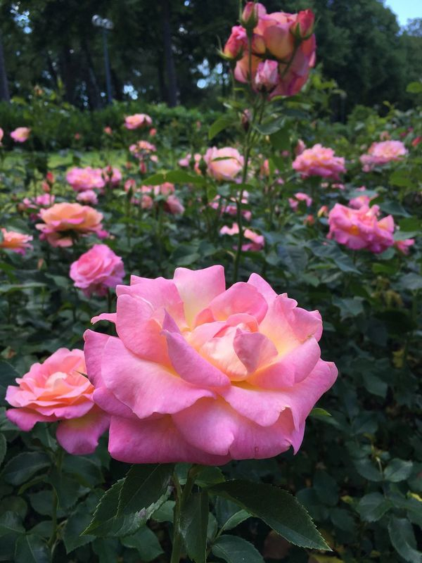 One Of My Favorites Flower Petal Pink Rose Beauty In Nature Freshness In Bloom Springtime Blossom Garden The Magic Mission