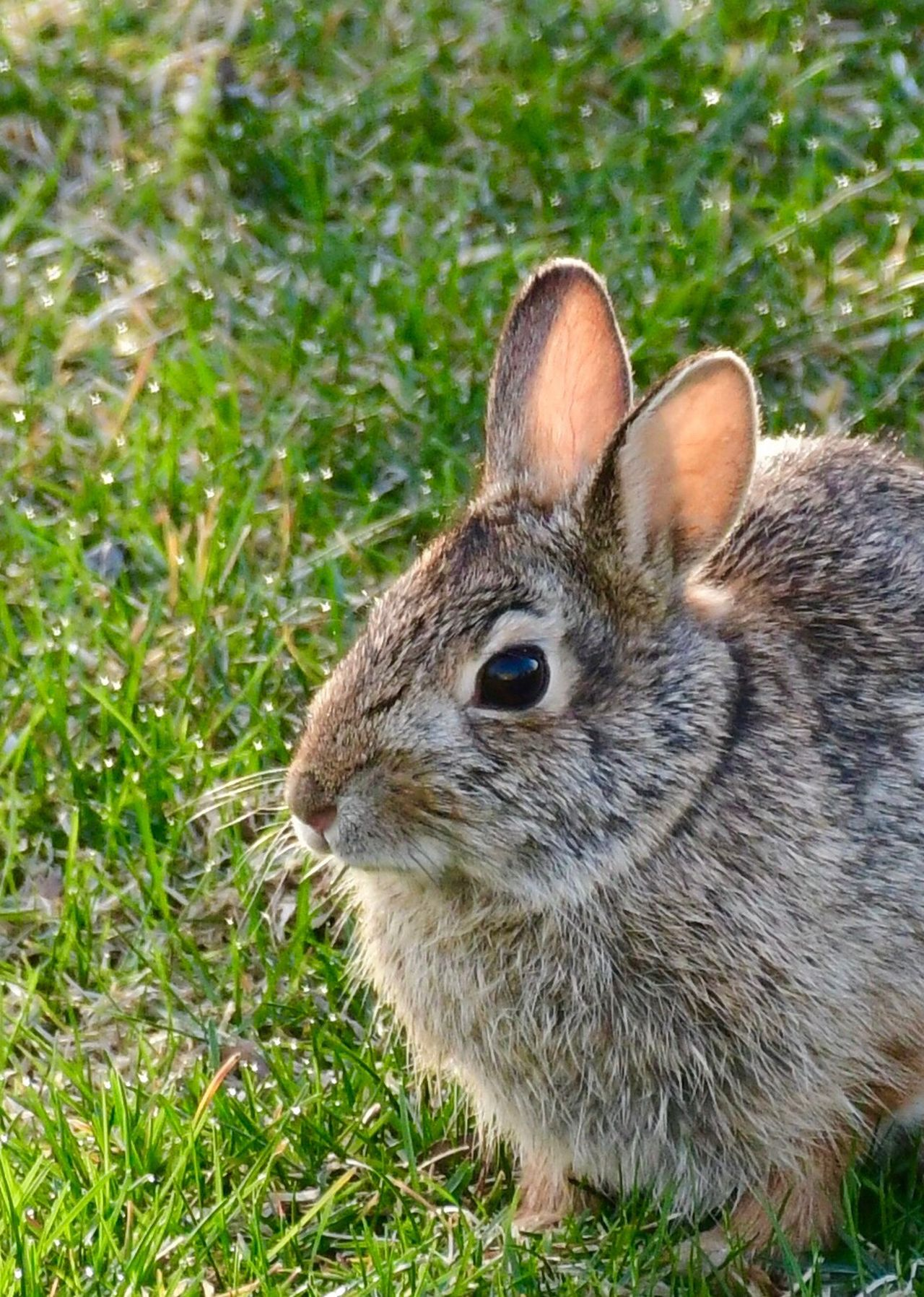 Grass Animal Themes One Animal Animals In The Wild Field Day Mammal Outdoors Close-up Animal Wildlife Nature No People Portrait Bunny  Spring Bunnies