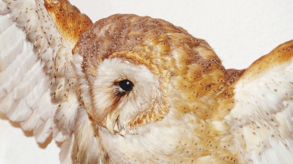 One Animal Animal Themes Animal Body Part Close-up Owl Animals In Captivity Owls💕 Owl Photography Owllife Owls Are Cute