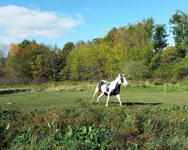 Domestic Animals Tree Nature Animal Themes No People Growth Mammal Landscape Sky Beauty In Nature Grass Outdoors Day Equestrian Life Horses Field Horses Are My Life Horse Running Investing In Quality Of Life
