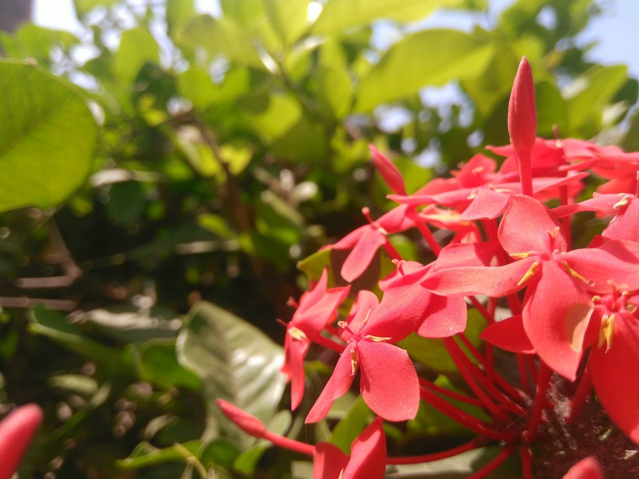 Las mejores modelos Flower Nature Petal Red Day Plant Fragility EyeEmFlower EyeEm Gallery Green Color Beauty In Nature Ixora Outdoors Blooming No People Flower Head Macro Macro Photography