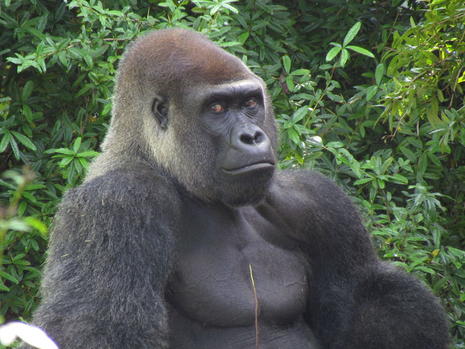 Walt Disney World Disney's Animal Kingdom Orlando Orlando Florida Florida Gorilla Silverback Gorilla Wildlife Wildlife Photography Capture The Moment