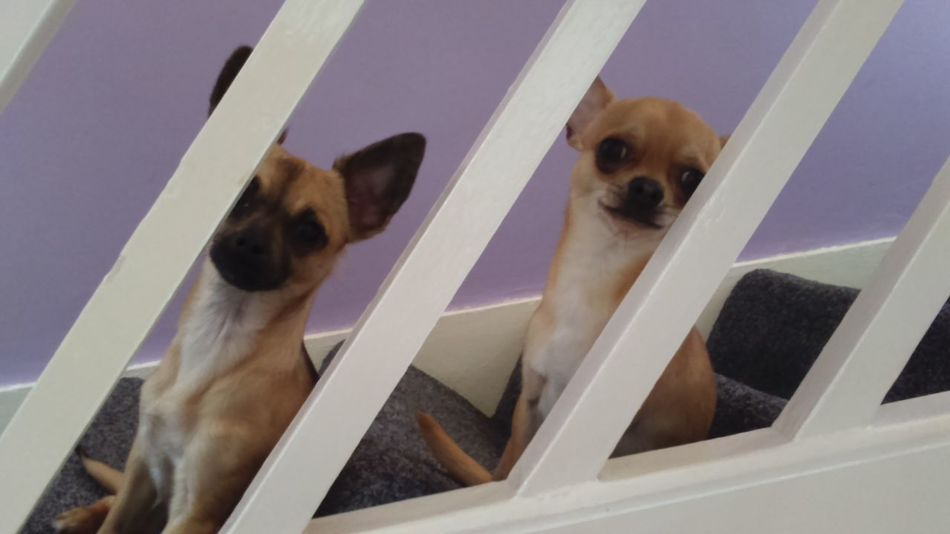 On The Stairs Stairs Dogs Two Dogs Chihuahuas Looking At Camera Looking At Me Attention Stair Railing Stair Rail Diagonal Diagonal Lines Chihuahua My Dogs Pets Small Dogs  Little Dogs Chihuahuamix