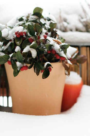 Winter flowers in snow Balcony Decor Beauty In Nature Berries In Snoe Berry Candle Christmas Decoration Close-up Colors Day Decor Home Flowers Ice Nature No People Outdoors Outside Plant Red Snow Tree White Winter Winter Winter Decoration Winter In The City