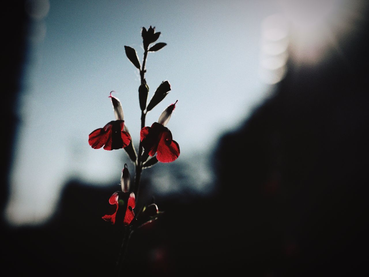 Flowers Sage Close-up Light And Shadows Sky And Clouds Blooming Winter Sky Streetphoto Shillouette