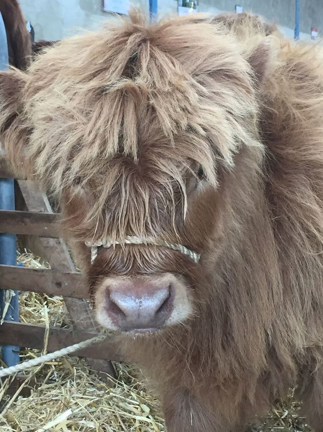 Wee Cow, a Highland Calf Nature On Your Doorstep Open Edit Day Out