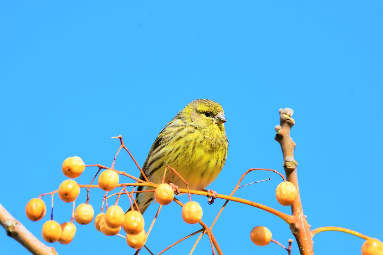 bird, animals in the wild, perching, animal themes, animal wildlife, one animal, blue, day, nature, clear sky, robin, no people, outdoors, low angle view, beauty in nature, close-up