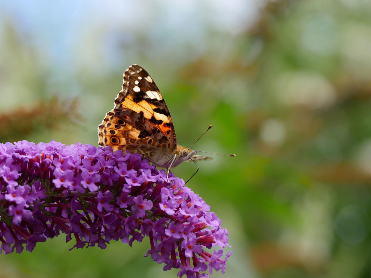 Distelfalter Painted Lady Butterfly Animals Beautiful Nature Focus On Foreground Fragility In Bloom Insect Macro Nature No People Outdoors Pollination Symbiotic Relationship Bokeh Close Up Close-up Animal Themes Animal Antenna Selective Focus From My Point Of View