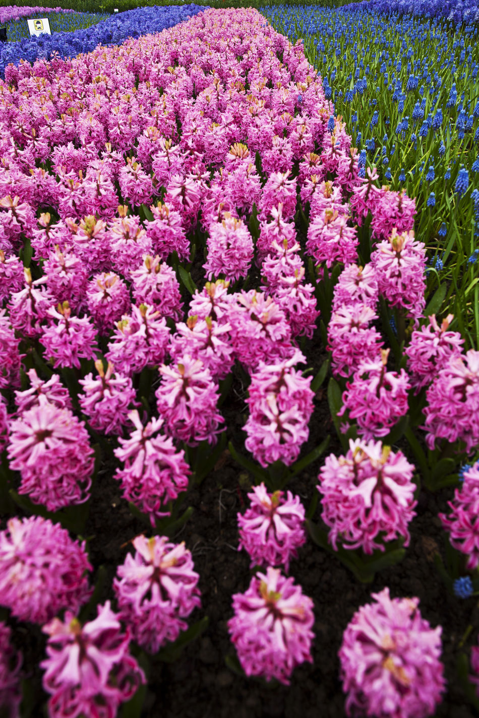 Beauty In Nature Close-up Day Flower Flower Head Fragility Freshness Growth Hyacinth Nature No People Outdoors Pink Plant Purple