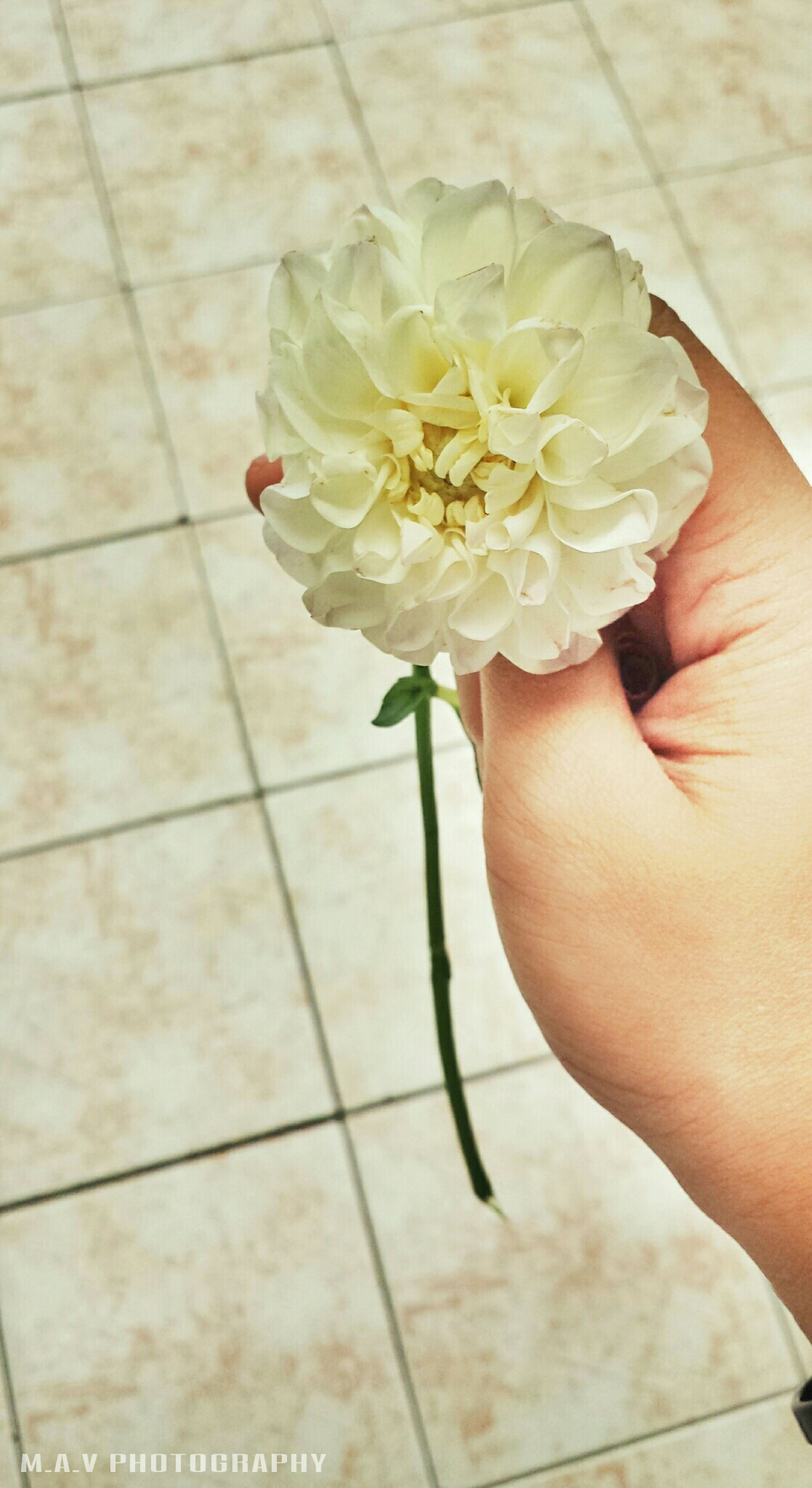 person, flower, holding, freshness, part of, petal, indoors, cropped, fragility, personal perspective, human finger, flower head, high angle view, lifestyles, unrecognizable person, leisure activity