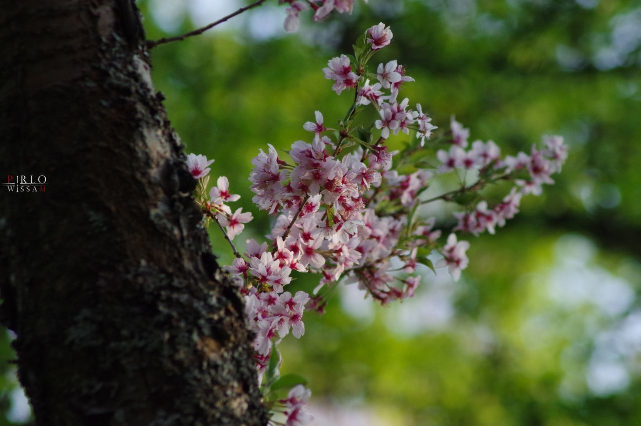 tree, growth, nature, beauty in nature, flower, focus on foreground, outdoors, day, branch, close-up, no people, fragility, tree trunk, freshness