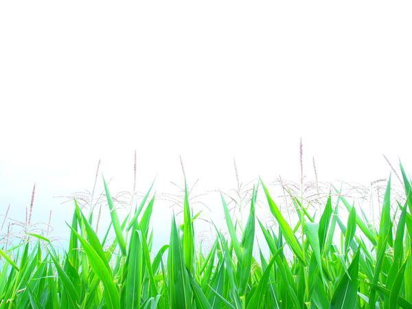 Agriculture Beauty In Nature Clear Sky Close-up Copy Space Corn Cornfield Day Field Grass Green Color Growth Maisfeld Nature No People Outdoors Plant Rural Scene Sky