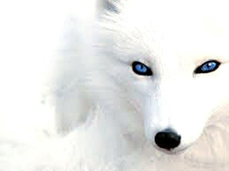 polarfuchs Nature Tiere