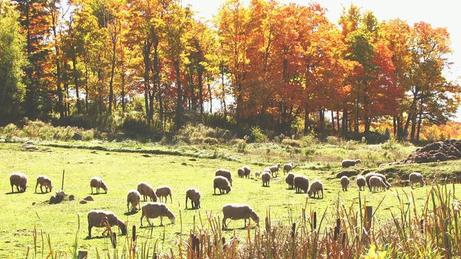 Nature Tranquil Scene Autumn October2016 Sheep Farm Sheeps Quebec, Canada Country