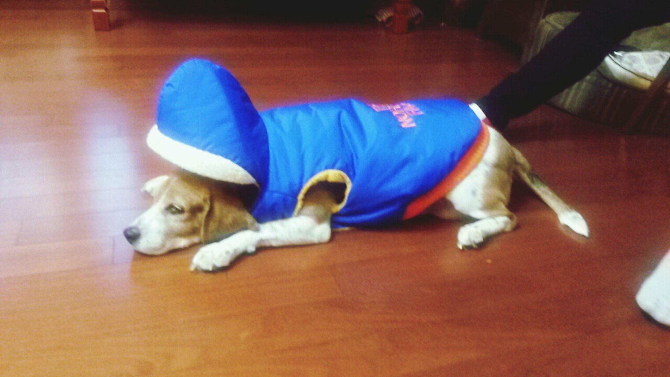 Beagle<3. Sleeping Dog NorthFace Relaxing