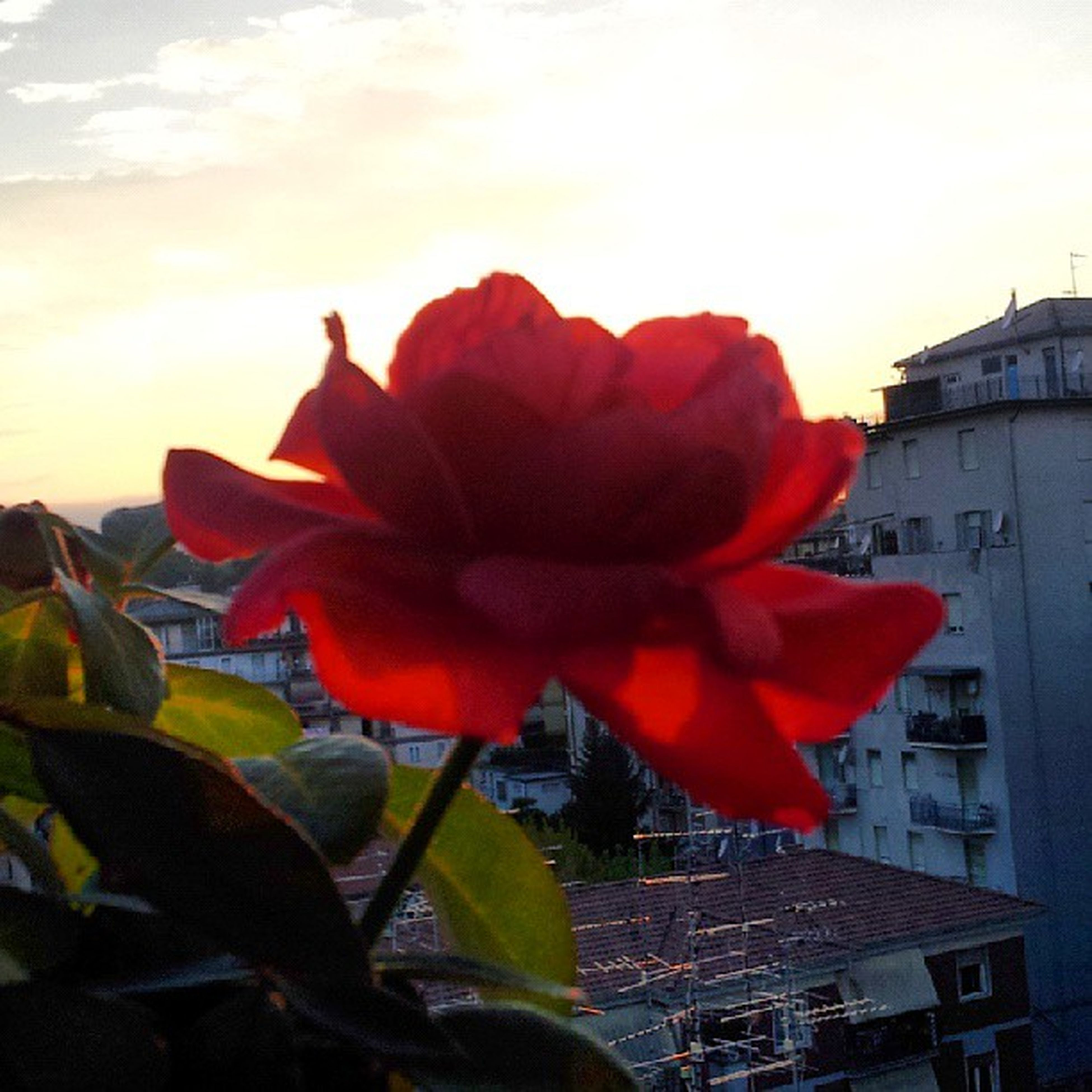 flower, petal, flower head, fragility, freshness, red, growth, orange color, beauty in nature, blooming, sky, close-up, plant, nature, single flower, sunset, focus on foreground, building exterior, sunlight, built structure