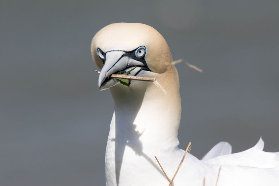 Beak Bird Close-up Gannet Gray Background Head Shot, No People Outdoors Seabird Stick Wildlife And Nature
