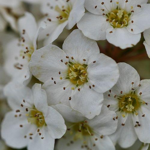 White bush flowers Beauty In Nature Blooming Bokeh Bokehlicious Close-up Flower Flower Head Freshness LUMIX DMC-GX7 Macro Macro Photography Macro_flower Nature Petal Plant Prime Selective Focus Stamen White White Color