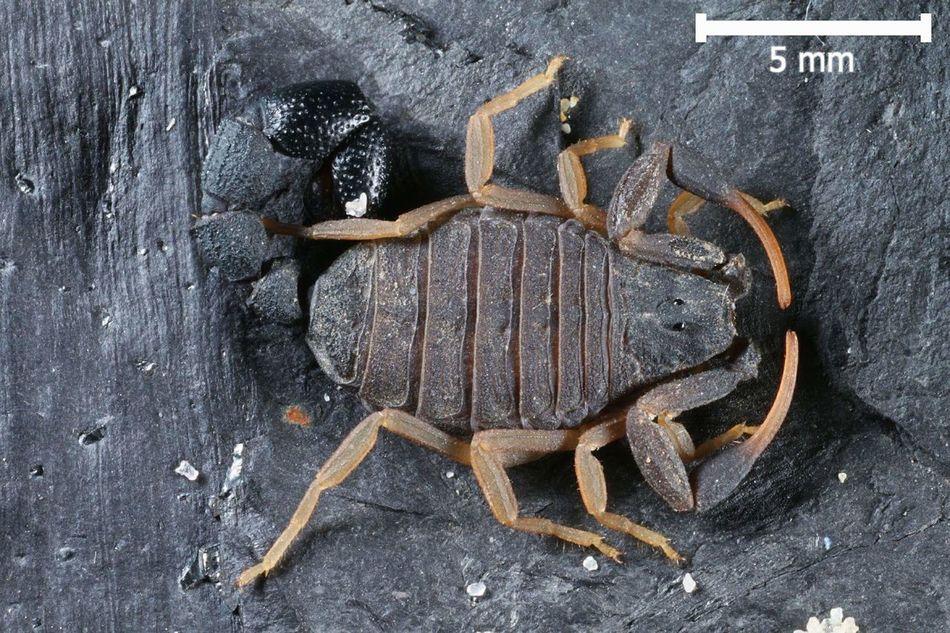 Microbuthus maroccanus - adult female - Morocco Animal Themes Close-up Scorpion Scorpions Skorpion Arachnid Photography Arachnology Arachnologie Microbuthus Morocco Marokko