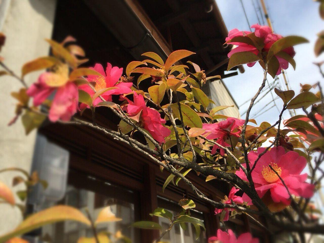 Kyoto Street Kyoto,japan Kyoto City Kyoto Street Flower Kyoto Matiya Camellia Sasanqua