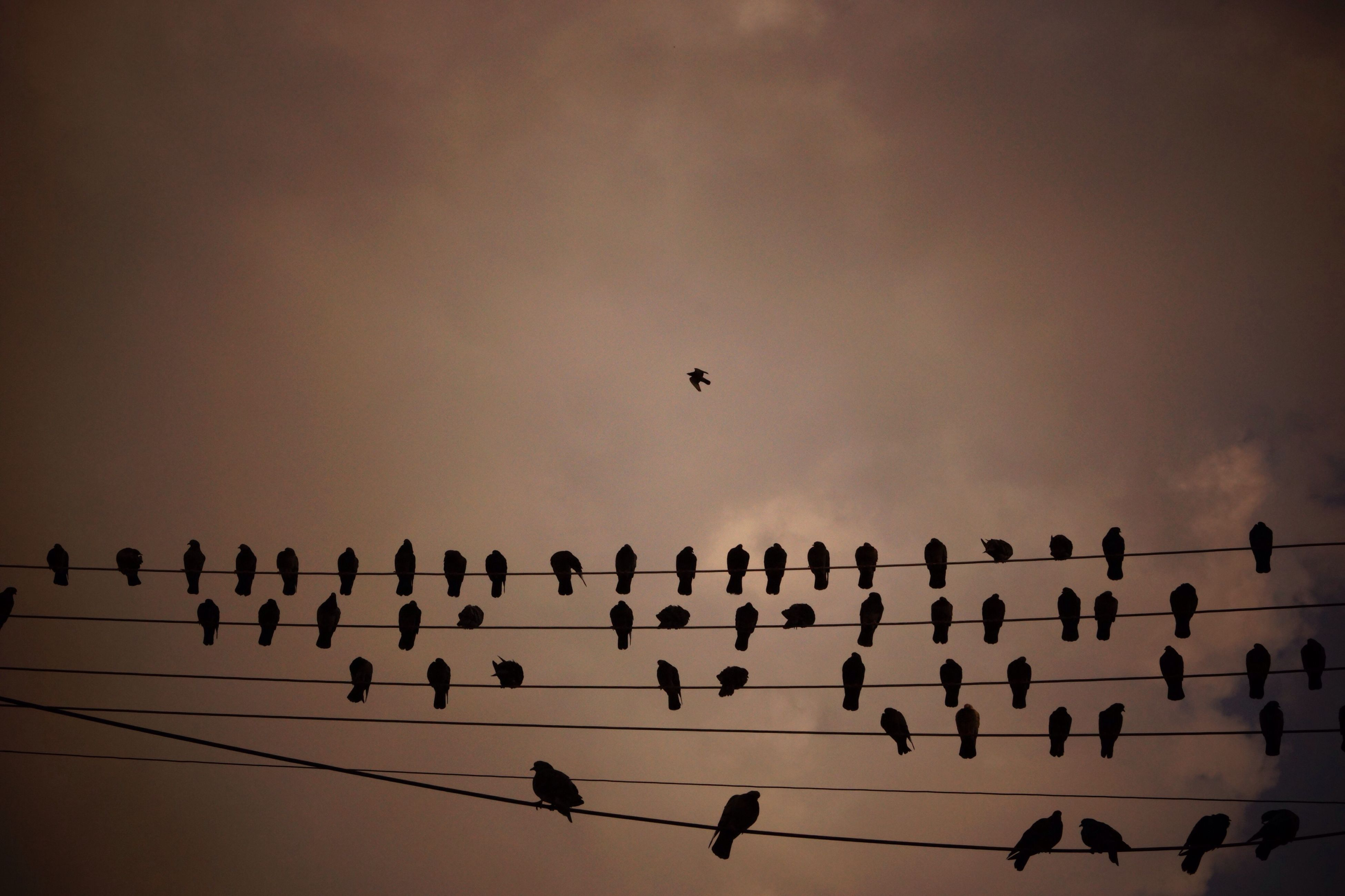 bird, flying, animals in the wild, animal themes, silhouette, animal wildlife, flock of birds, sky, no people, outdoors, spread wings, sunset, low angle view, nature, large group of animals, beauty in nature, togetherness, migrating, day