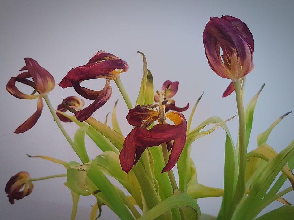 Schönheit ist vergänglich Tulpis Fury Faded Nature Flower Flower Head Close-up Plant To Die Dried Plant Multi Colored Beauty In Nature Indoors  EyeEm Gallery EyeEm Team EyeEm Best Shots EyeEm Nature Lover Nature Motion Tulpe