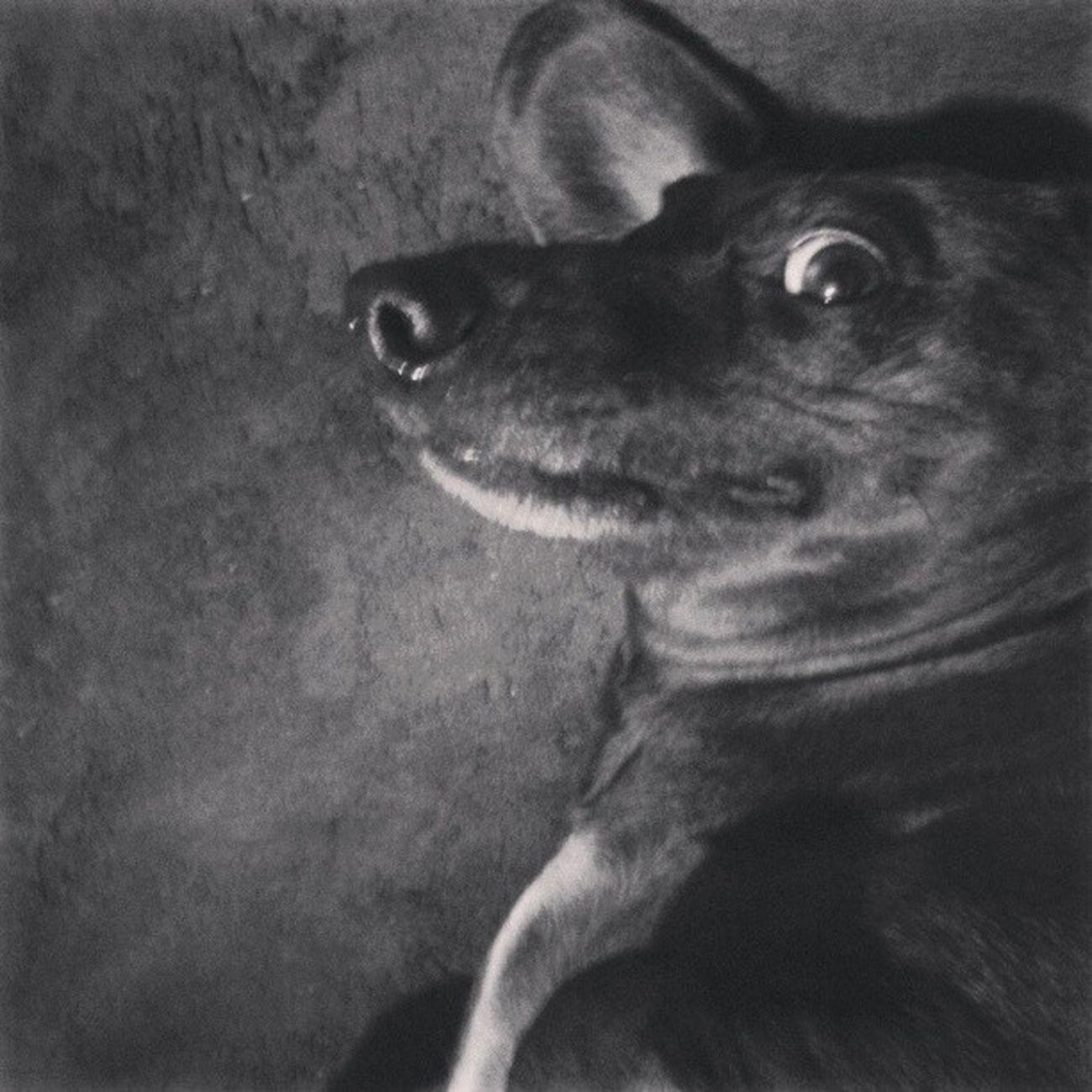 Staaaaap mom! I want you to pet me! Dachshund Doxie Dogloversofinstagram Petstagram DailyDoseOfDachshund