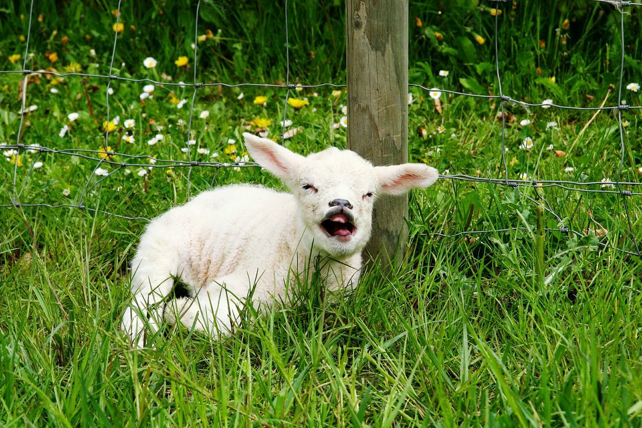 Lamb Relaxing On Grassy Field