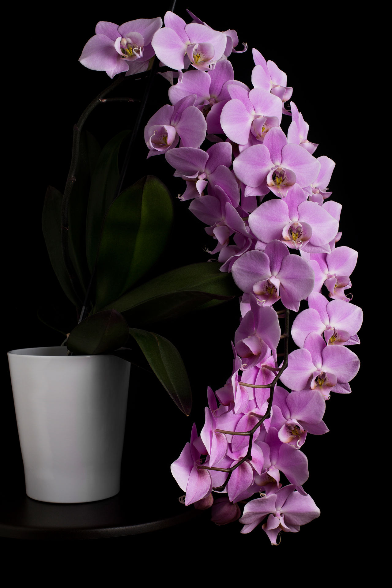 Beauty In Nature Beauty In Nature Black Background Close-up Flower Flower Arrangement Flower Head Fragility Freshness Gift Growth Harmony Harmony With Nature Nature Orchid Orchid Flower Orchidee Pink Flower Pink Orchid Plant Relaxation Relaxation Time Rose Flower Rose Orchid Rosy