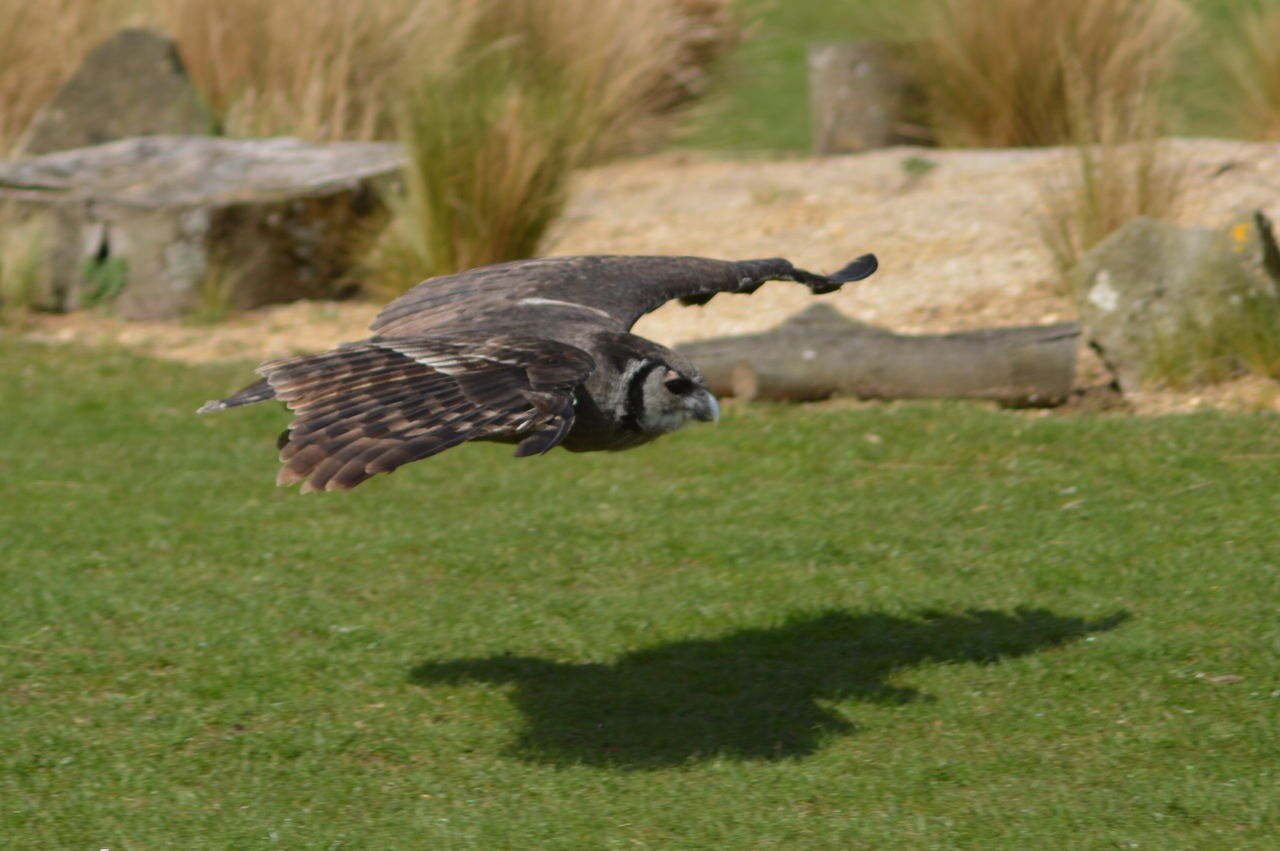 No Filter, No Edit, Just Photography Details Of Nature Close Up Close Up Nature Birds Of Prey Capturing Movement Birds In Flight Flying Owl In Flight Owl Two The Same Light And Shadow Wings Silent Hunter