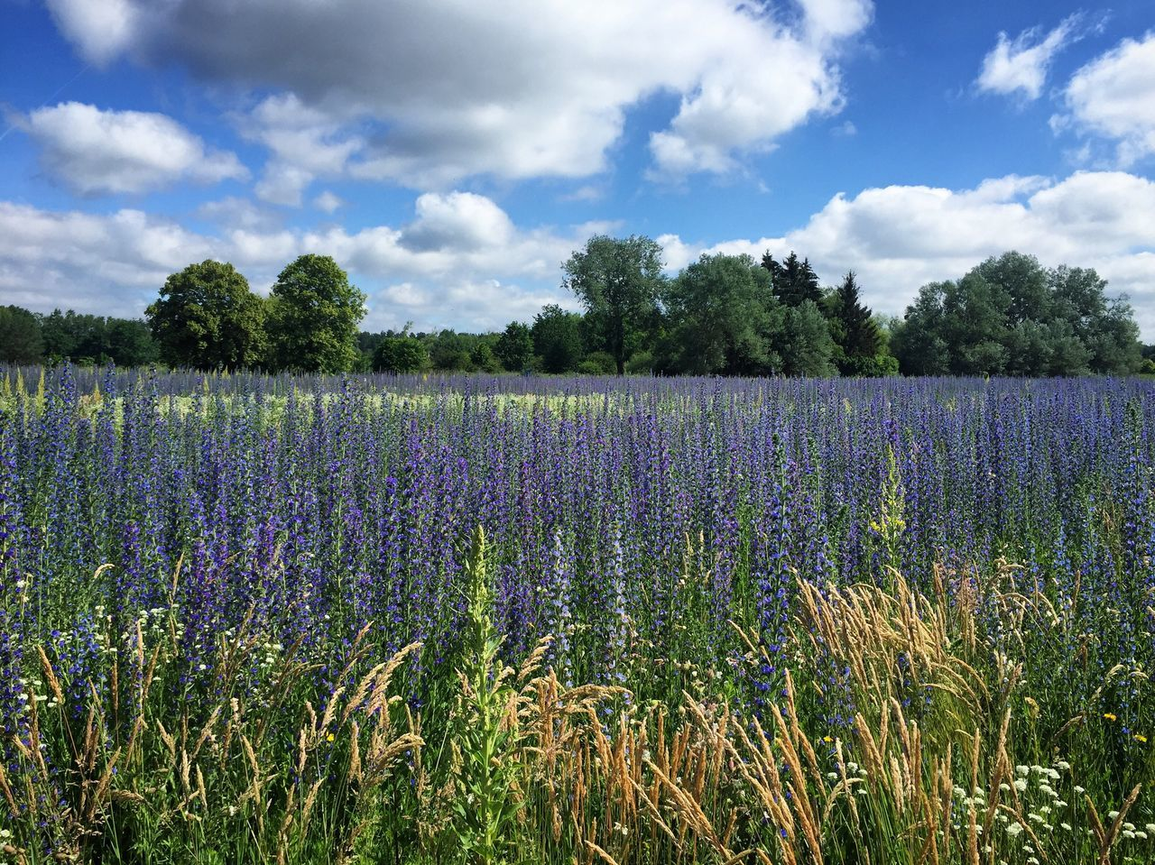 Blue flowers in Brandenburg Growth Purple Nature Cloud - Sky Field Tranquility Beauty In Nature Lavender Sky Landscape Scenics Day Plant Tree Tranquil Scene No People Agriculture Outdoors Rural Scene Flower Brandenburg Flowers Blue