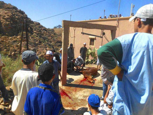 gathering of a sacrifice of a bull to a religious shrine southern morocco in a village near tighmi tiznit. Berber  Cow Deciple Lifestyles Men Morocco Religious  Sacrifice Shrine Sufi Tighmi Tiznit Village