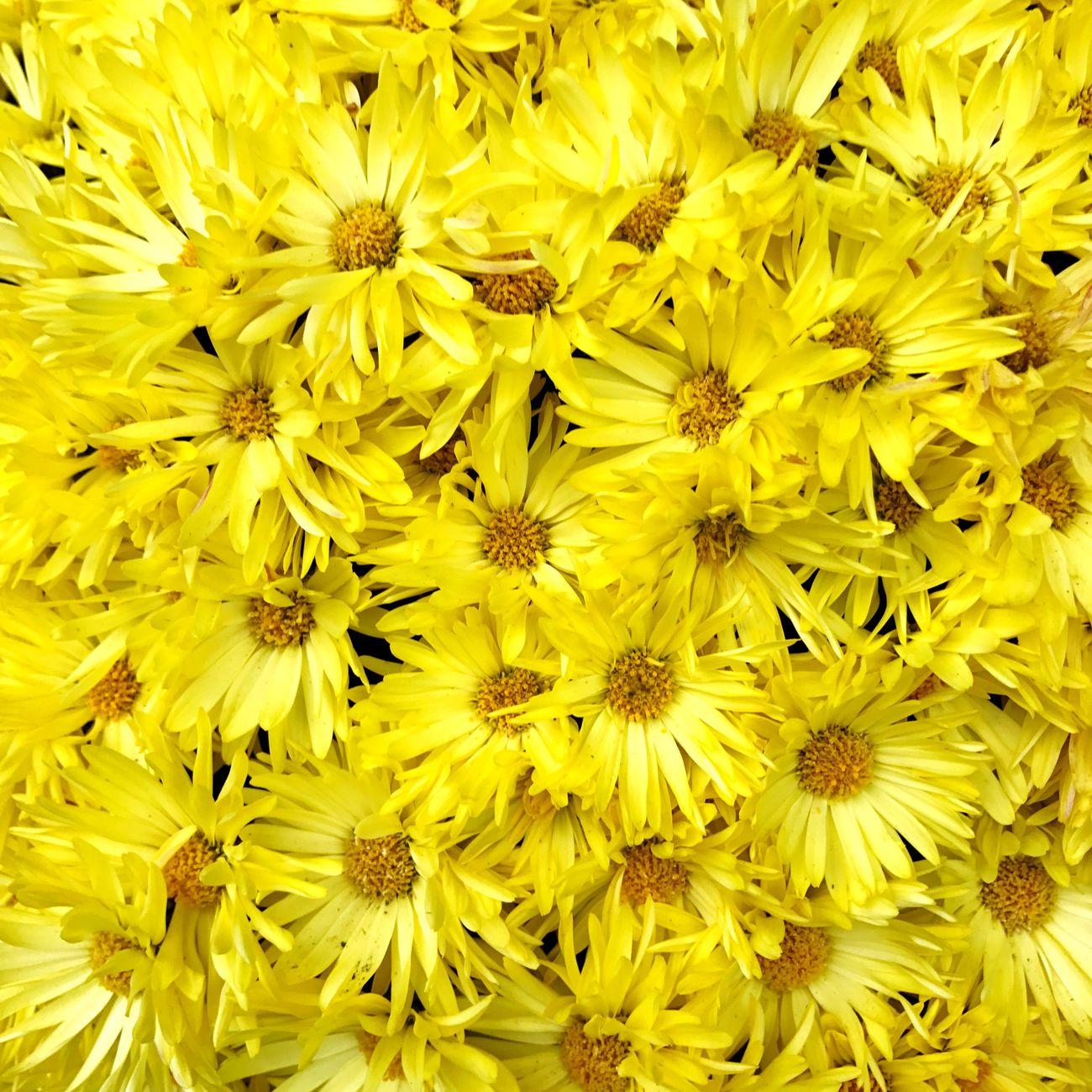 Floristsdaisy Chrysanthemum 菊 Autumn Gunma Yellow