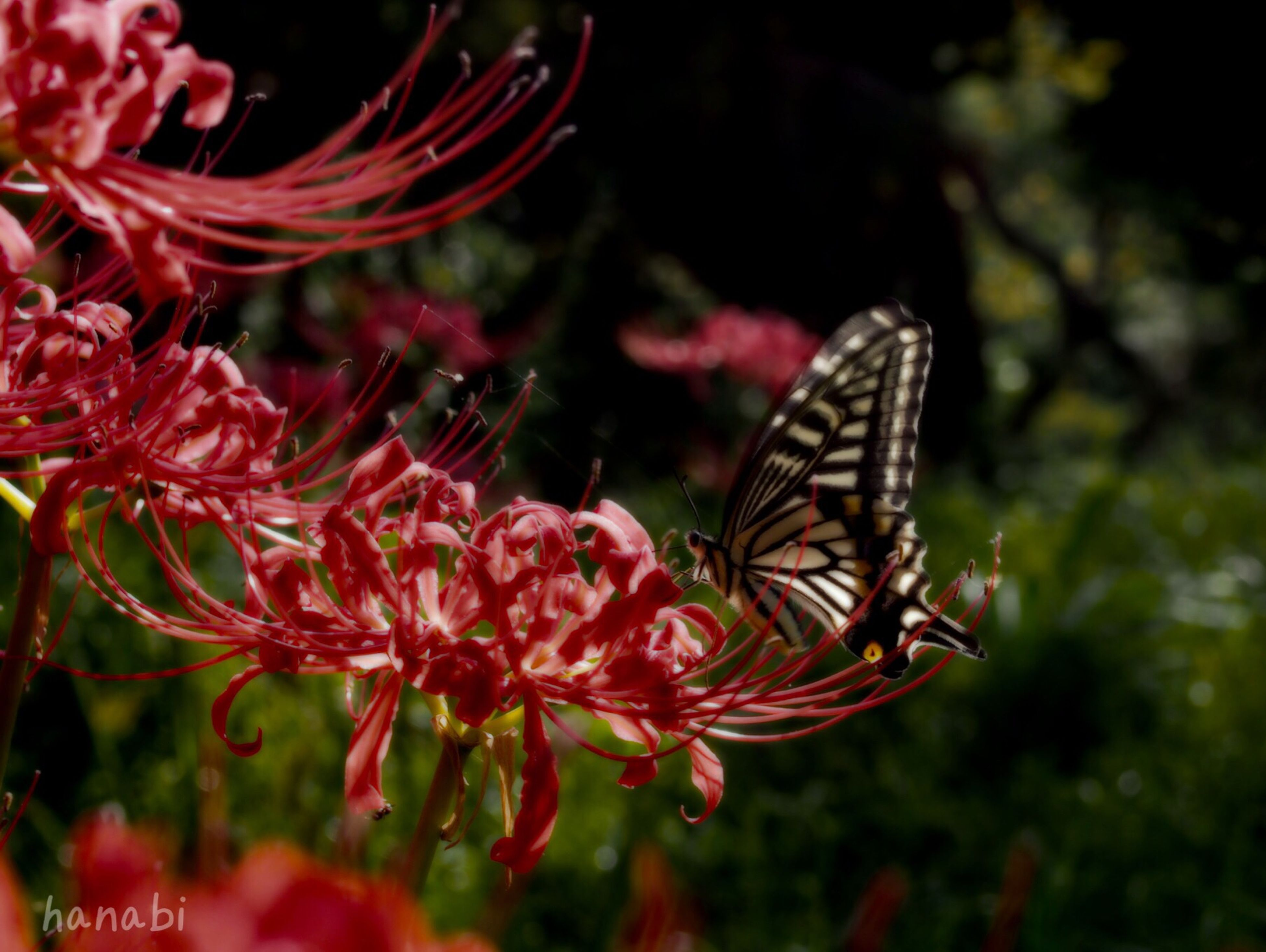 one animal, insect, animals in the wild, animal themes, flower, wildlife, butterfly - insect, butterfly, fragility, focus on foreground, close-up, beauty in nature, pollination, petal, nature, freshness, plant, growth, animal markings, animal wing