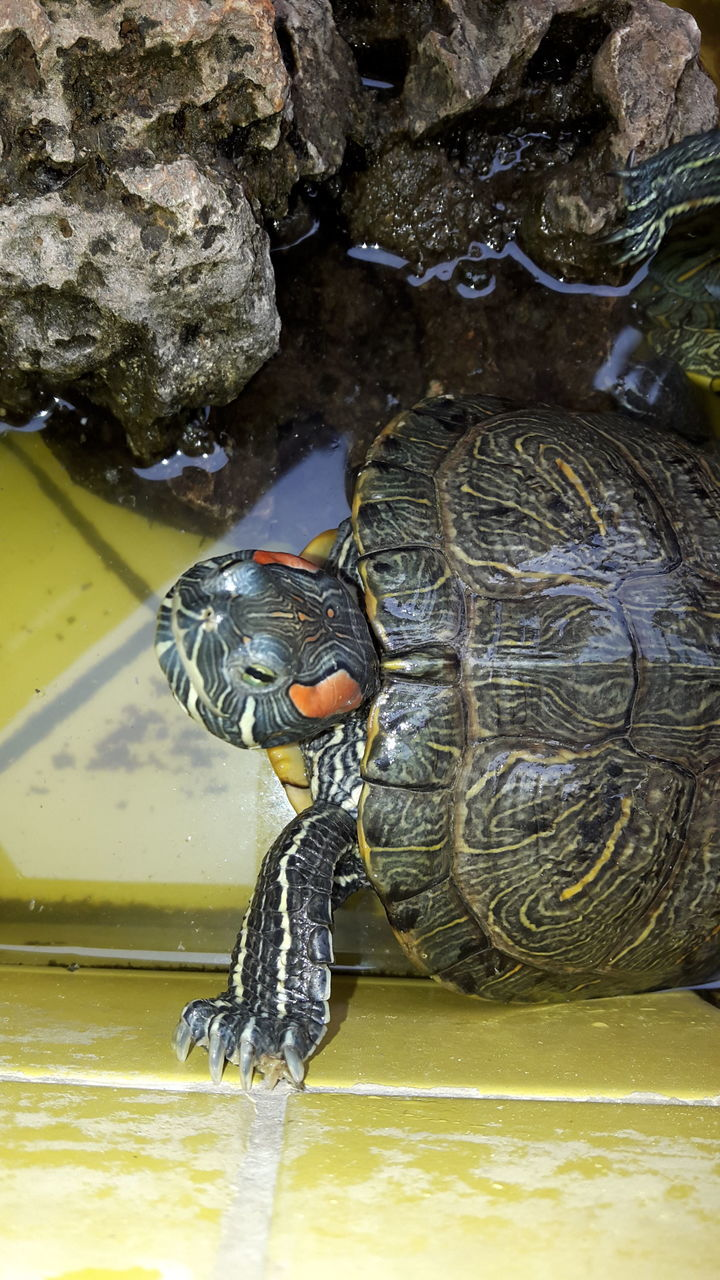 one animal, reptile, animal themes, animals in the wild, animal wildlife, water, turtle, tortoise, waterfront, no people, day, nature, sea life, close-up, swimming, outdoors, tortoise shell