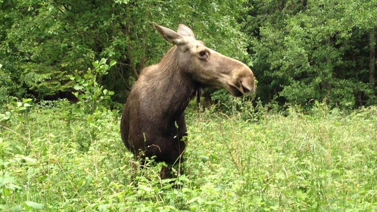 Close encounters with moose Moose Forest Nature