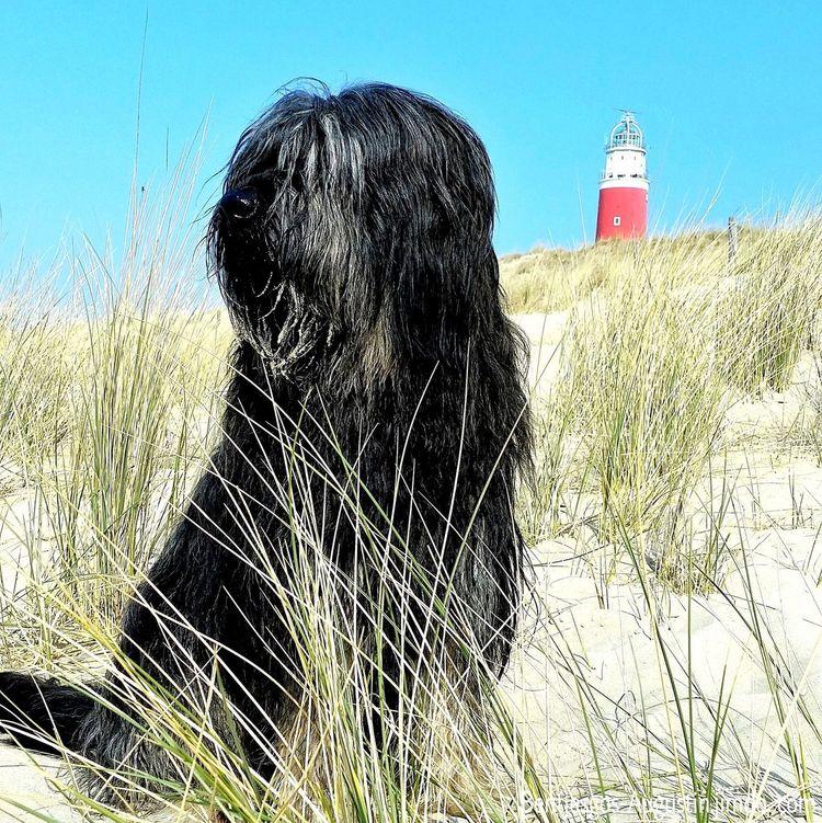 Bentjesgosaugustin Gos D'atura Texel  Myisland Holidays Ilovemydog I Love My Dog Nature Mydog Landscape