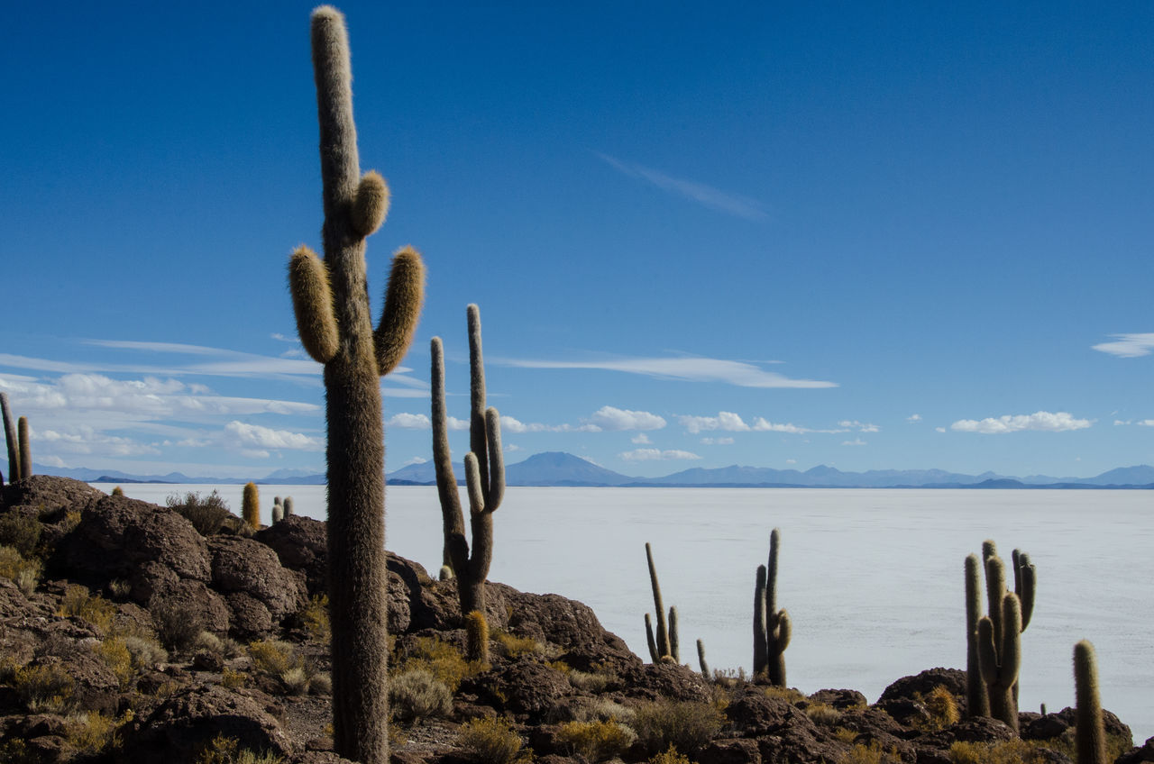 Saguaro Cactus Growing At Salar De Uyuni Against Blue Sky