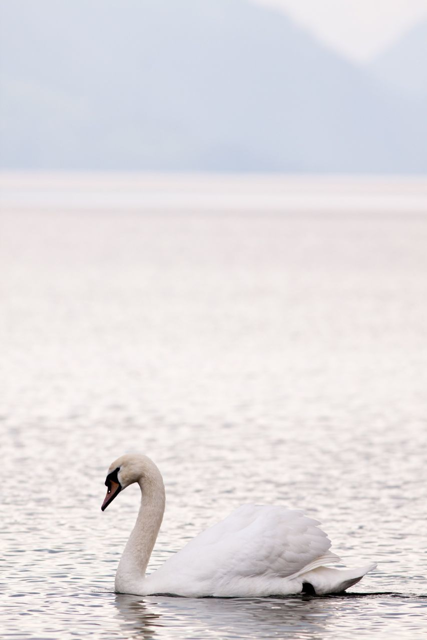 Side View Of Mute Swan Swimming On Lake
