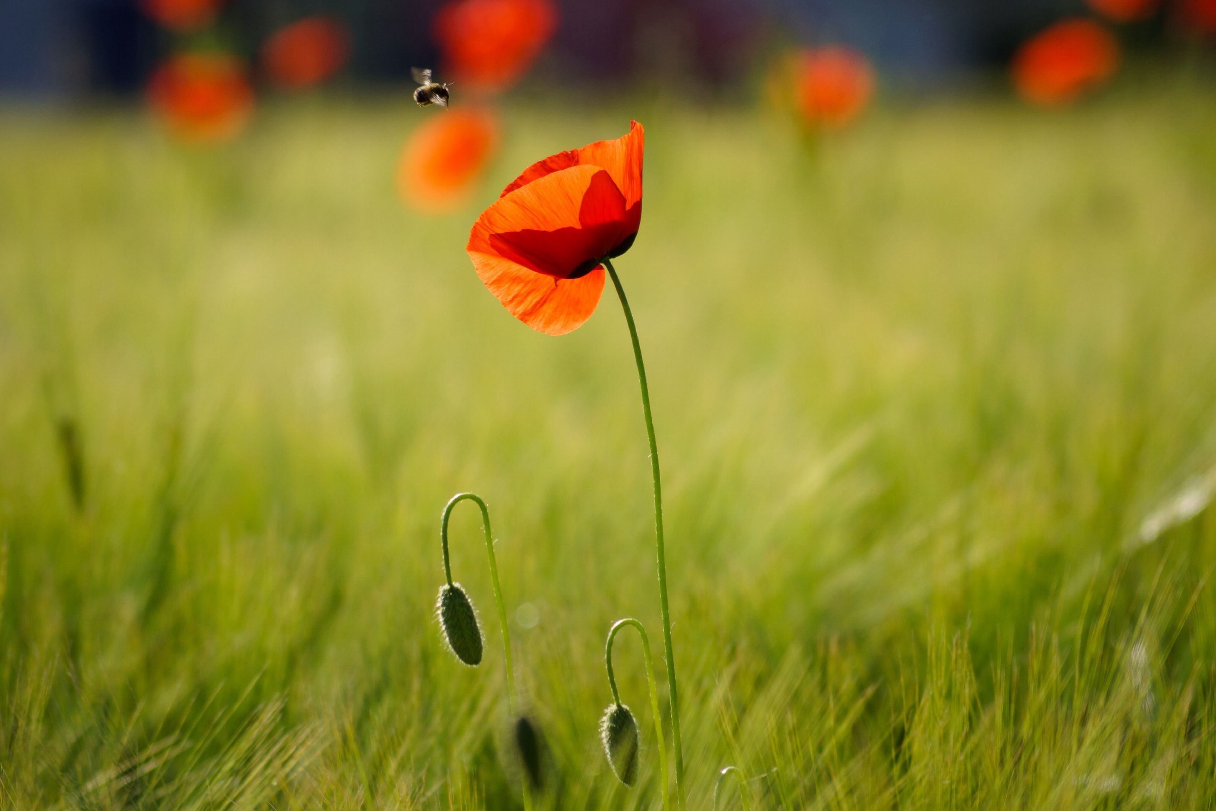red, orange color, growth, flower, beauty in nature, plant, fragility, nature, freshness, focus on foreground, close-up, water, stem, field, poppy, selective focus, outdoors, sunset, leaf, no people