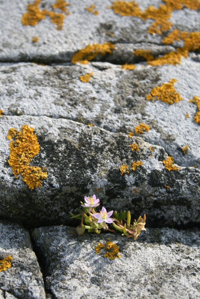 Valö Archipelago Beauty In Nature Blooming Botany Close-up Day Fjällbacka SKÄRGÅRDEN Flower Flower Head Fragility Freshness Growth In Bloom Moss Nature Outdoors Petal Plant Rock Rock - Object Schärengarten Skärgård Valö Island Yellow