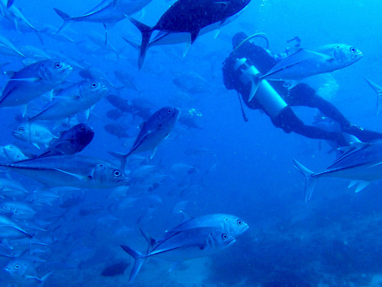 Animal Themes Blue Fish Fishes Jack Jacks Large Group Of Animals Leisure Activity Lifestyles Nature Real People School Of Fish School Of Fish. School Of Jack Scuba Diver Scuba Diving Sea Life Swimming UnderSea Underwater Water