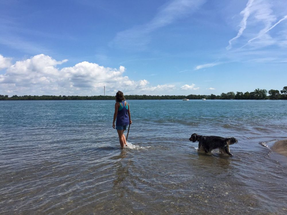 Throwing a stick English Setter Detroit River Dog On The Beach Bird Dog Pointer Dog Michigan Summer Small Island Fetching The Stick